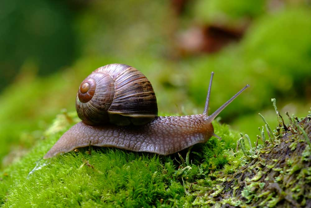 French-Snail-in-the-Wild.jpg